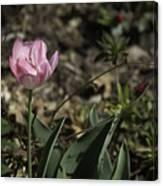 Angelique Peony Tulip Canvas Print