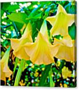Angel's Trumpets At Pilgrim Place In Claremont-california Canvas Print