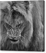 Angola Lion Canvas Print