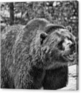 Angry Bear Black And White Canvas Print