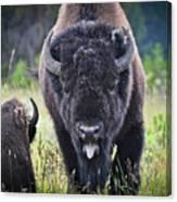 Angry Bison Canvas Print