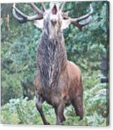 Angry Stag Canvas Print