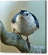 Angry White Breasted Nuthatch Canvas Print