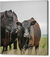 Angus Pair Canvas Print