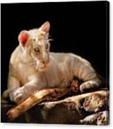 Animal - Cat - A Baby Snow Tiger Canvas Print