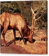 Animal - Elk -  An Elk Eating Canvas Print
