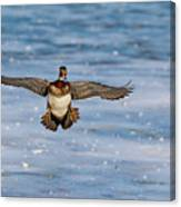 Animal - Bird - Wood Duck Preparing For A Landing Canvas Print