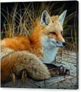Animal - The Alert Fox  Canvas Print