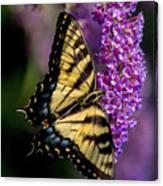 Anise Swallowtail Canvas Print