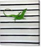 Anole Shuttered Out Canvas Print