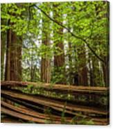Another Split Redwood Canvas Print