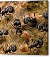 Ant Crematogaster Sp Group Canvas Print
