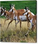 Antelope 1 Canvas Print