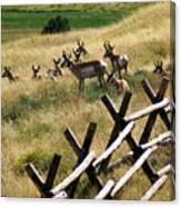 Antelope 2 Canvas Print