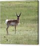 Antelope 3 Canvas Print