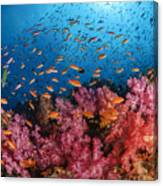 Anthias Fish And Soft Corals, Fiji Canvas Print