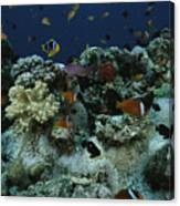 Anthias Fish, Anemonefish And Basslets Canvas Print