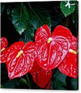 Anthurium Andreanum Canvas Print