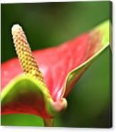 Anthurium Blossom Canvas Print