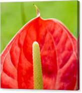 Anthurium Close-up Canvas Print