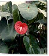 Anthurium Flower  Canvas Print