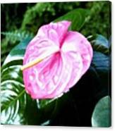 Anthurium Canvas Print