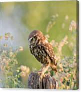 Anticipation - Little Owl Staring At Its Prey Canvas Print