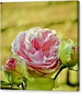 Antique Pink Rose Canvas Print