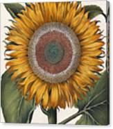 Antique Sunflower Print Canvas Print