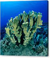 Antler Coral Canvas Print