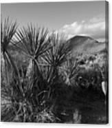 Anza-borrego Yuccas Canvas Print