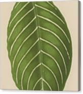 Aphelandra Leopoldii  Canvas Print