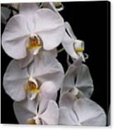 Aphrodite - White Orchid Canvas Print