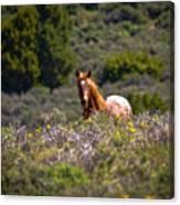 Appaloosa Mustang Horse Canvas Print