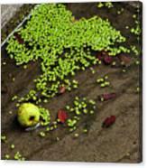 Apple And Algae In Dam Overflow Canvas Print