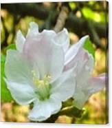 Apple Blossom Close-up Canvas Print