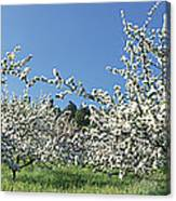 Apple Blossom Trees Norway Canvas Print