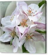 Apple Blossoms From My Hepburn Garden Canvas Print