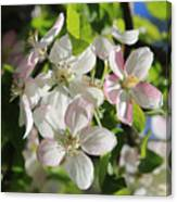 Apple Blossoms Square Canvas Print