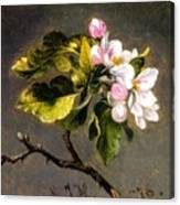 Apple Blossomss Canvas Print