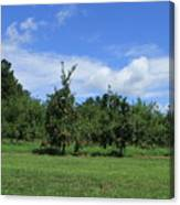 Apple Orchard At Vineyard Canvas Print