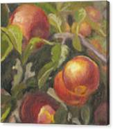 Apples In The Orchard Canvas Print