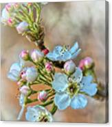 Apples In The Spring Canvas Print