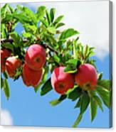 Apples On A Branch Canvas Print