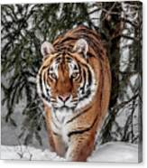 Approaching Tiger Canvas Print