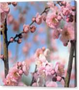 Apricot Tree Blossoms Canvas Print