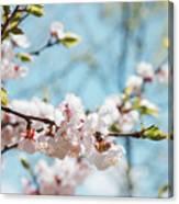 Apricots Bloom Canvas Print