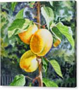 Apricots In The Garden Canvas Print