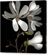 April Magnolia Canvas Print