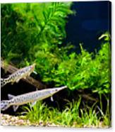 Aquarium Fish Couple In Zoo Canvas Print
